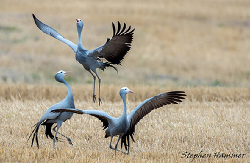 namibia blue crane, photo by stephen hammer