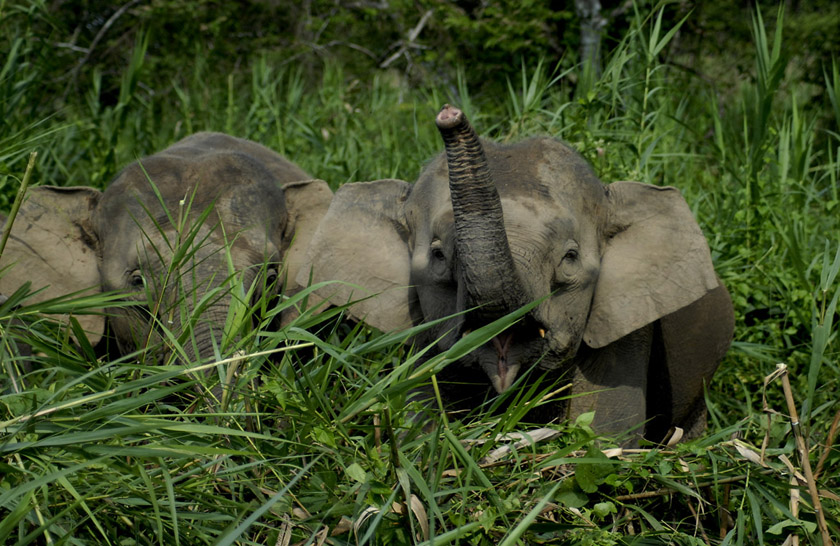 Pygmy Elephants, photo by Kelvin Marshall 840x546