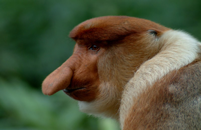 male proboscis monkey, photo by K Marshall web