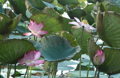 myanmar water lillies