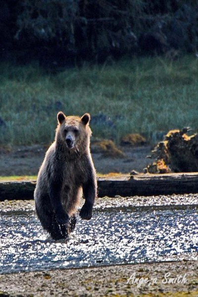great bear rainforest grizzly looking for salmon Angela Smith