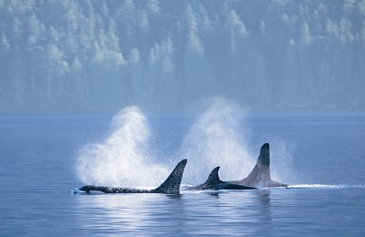 canada great bear rainforest orcas johnstone straitfull