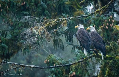 great bear rainforest two eagles t crocker