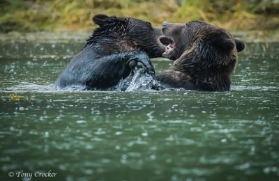 great bear rainforest two grizzlies tony crocker