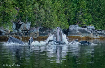 great bear rainforest whales feeding tony crocker