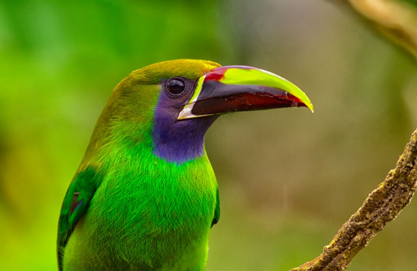 costa rica emerald toucanet alex arias 840x546