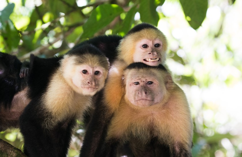 costa rica white throated capuchin alex arias 840x546