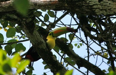 guatemala toucan keel billed