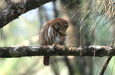 honduras owl william orellan