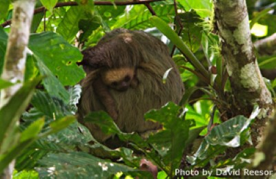 panama sloth david reesor