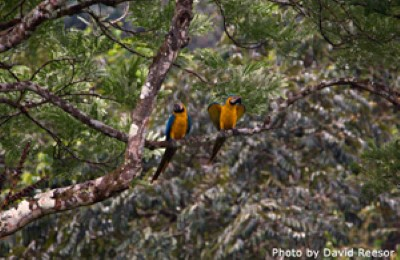 Panamai Macaws, photo by David reesor