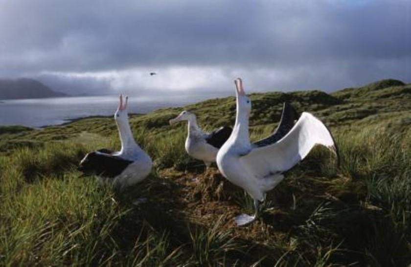 antarctic south georgia wandering albatross oceanwide 840x546
