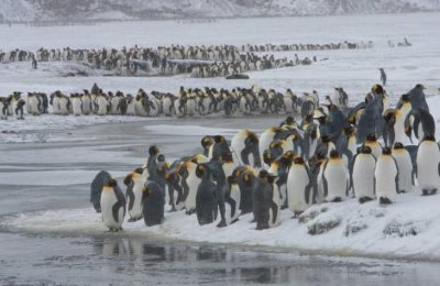 antarctic king penguin colony