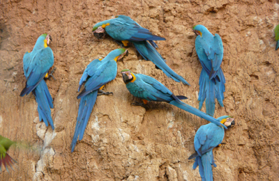 blue gold macaws clay lick