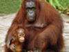 Orangutans: photo by K. Marshall
