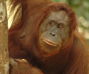 Orangutan: photo by K. Marshall