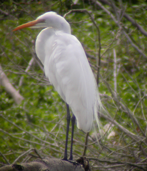 belize great egret